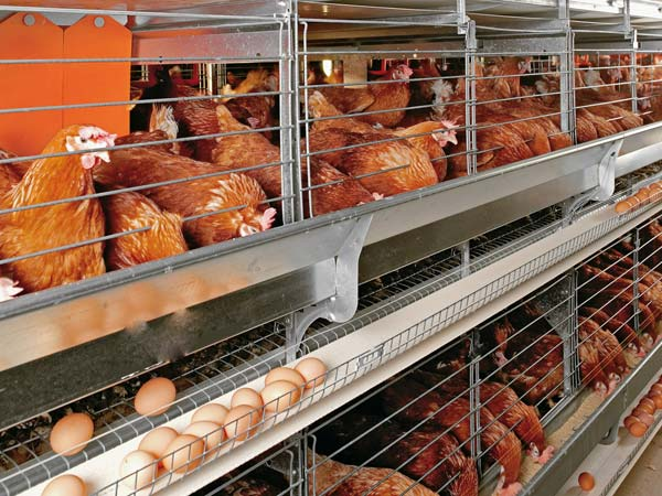 Layer poultry production manual pdf