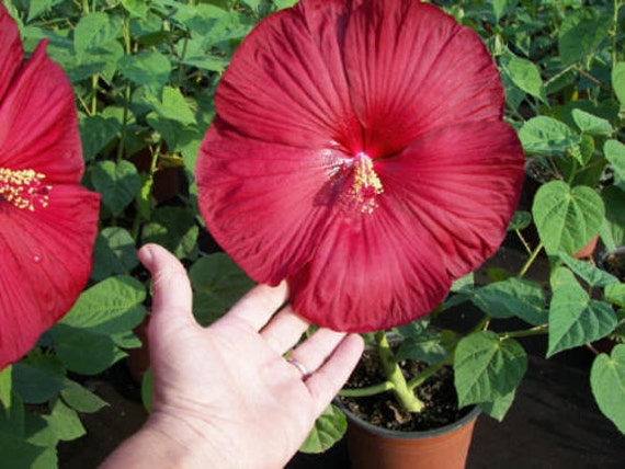 hardy hibiscus seeds instructions